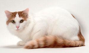 gatto-turco-van-3-300x180