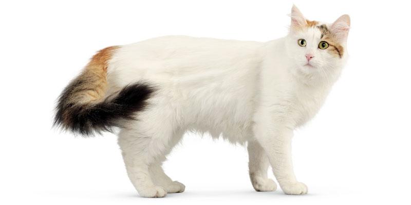 gatto-turco-van-3-800x400