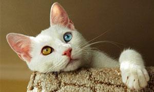 gatto-turco-van-4-300x180