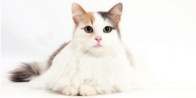 gatto-turco-van-4-800x400