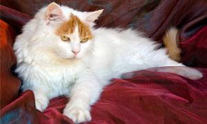 gatto-turco-van-5-300x180