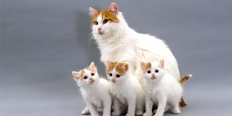 gatto-turco-van-7-800x400
