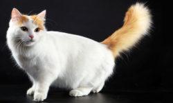 gatto-turco-van-9-800x400