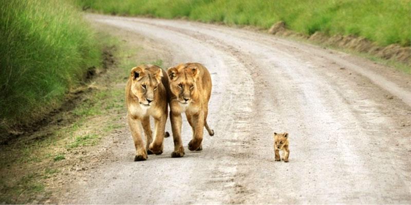 leonesse-con-cucciolo-3-800x400