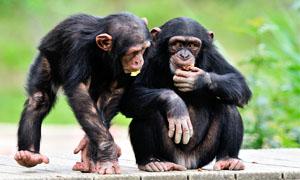 scimpanze-mangiano-1-300x180