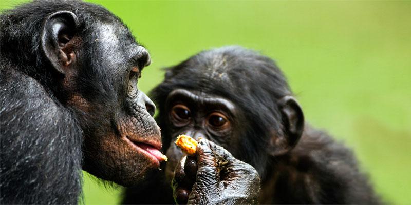 scimpanze-mangiano-1-800x400