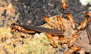 termiti-3-300x180