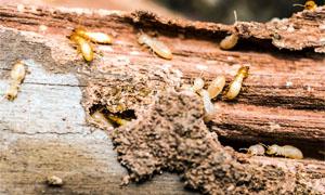 termiti-5-300x180