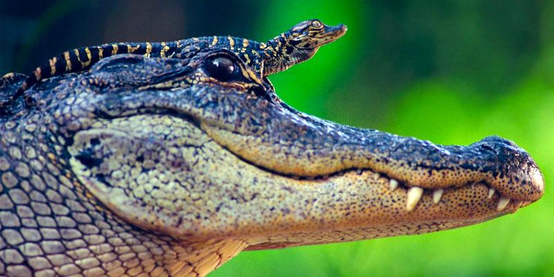 aligatore-800x400