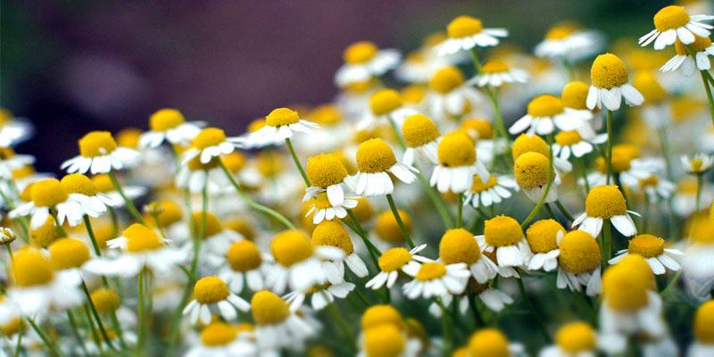campi-fiori-7-800x400