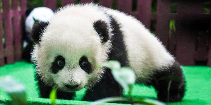 panda-gigante-800x400