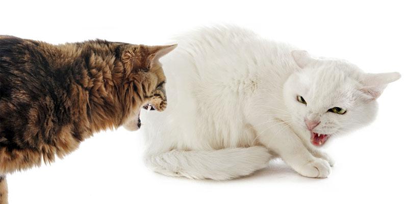 gatto-aggressivo-4-800x400