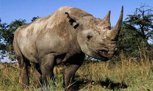 rinoceronte-1-300x180