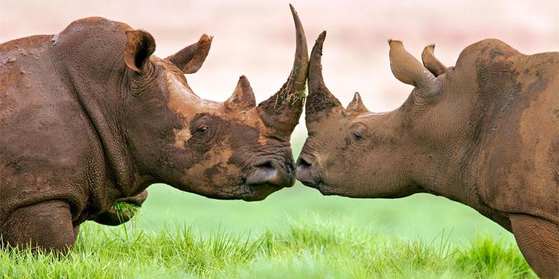 rinoceronte-1-800x400
