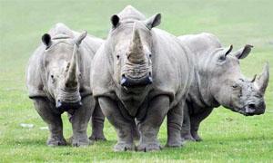rinoceronte-2-300x180