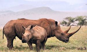 rinoceronte-4-300x180