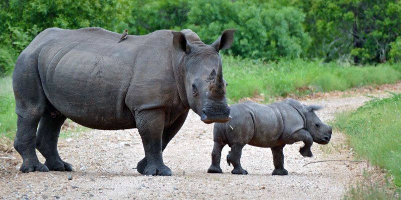 rinoceronte-5-800x400