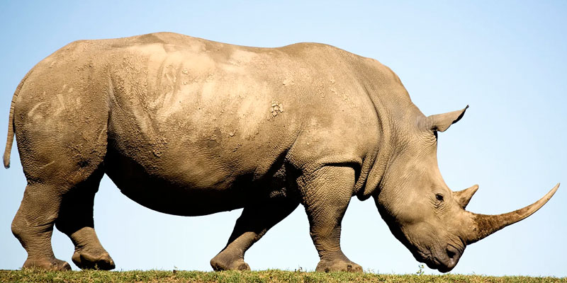 rinoceronte-bianco-6-800x400