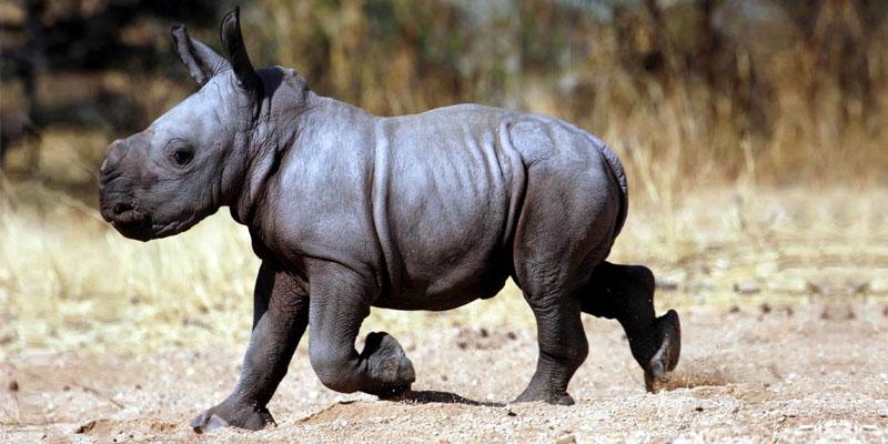 rinoceronte-bianco-7-800x400