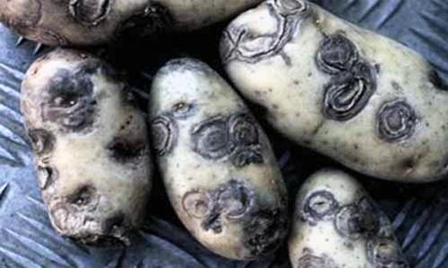 Virosi della patata