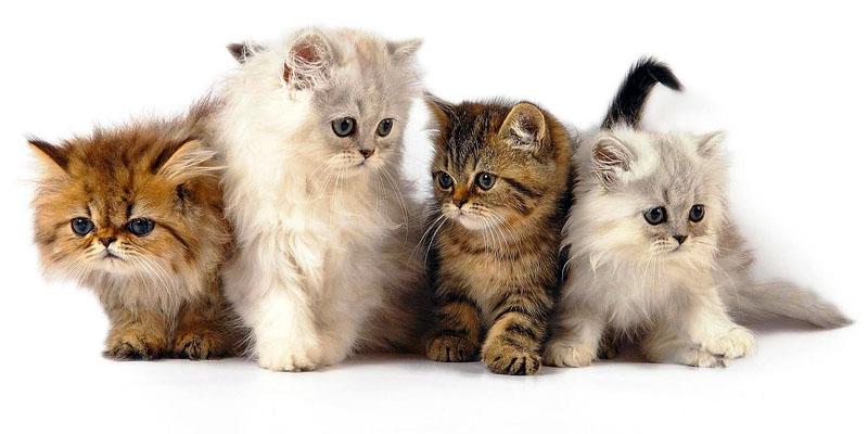 gatto-4-personalit-felina-800x400