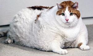 gatto-obeso-1-300x180