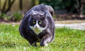 gatto-obeso-4-300x180