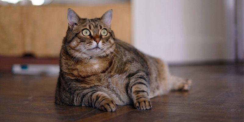 gatto-obeso-6-800x400