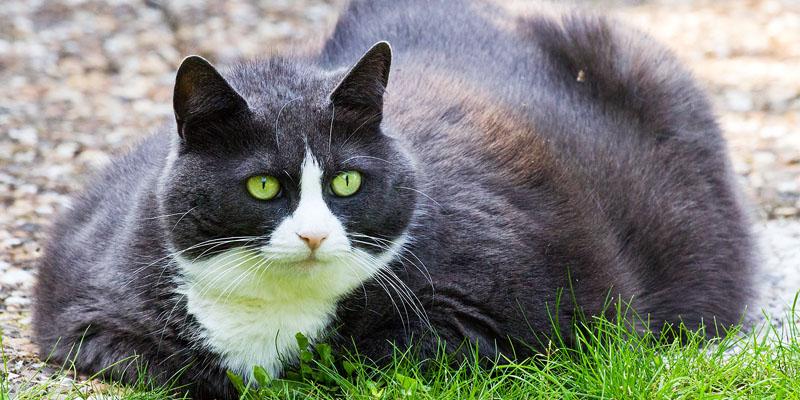 gatto-obeso-7-800x400