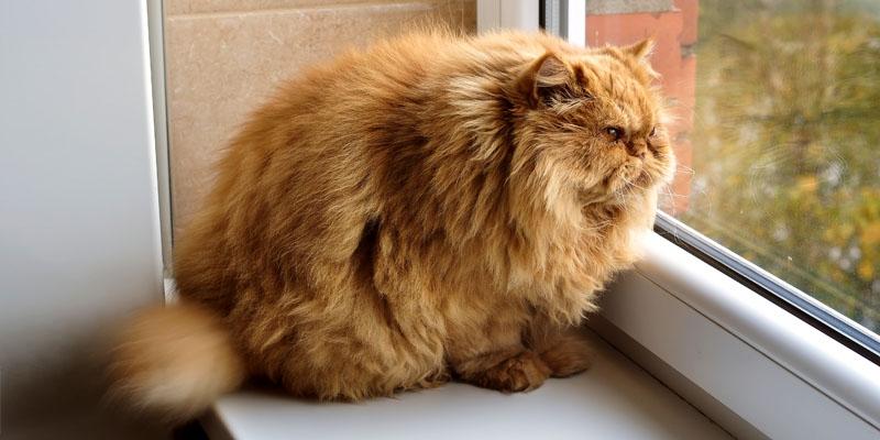 gatto-obeso-9-800x400