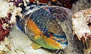 pesce-pappagallo-300x180