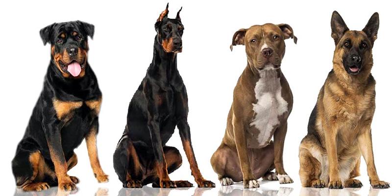 razza-cane-3-800x400