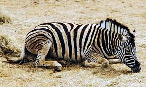 zebra-1-300x180