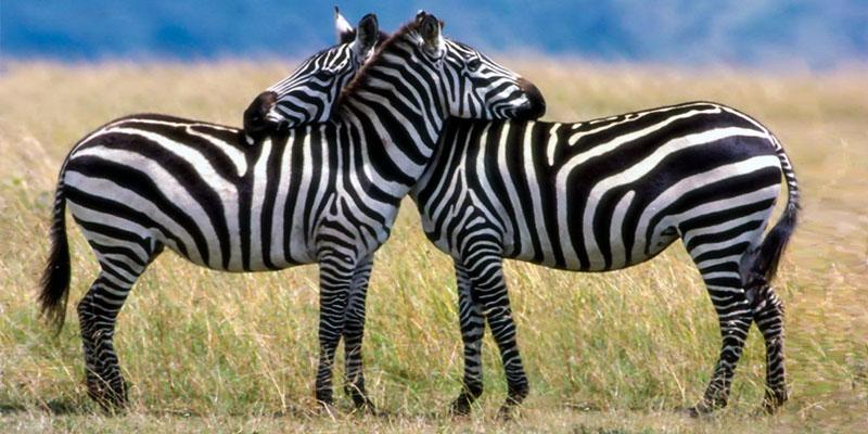 zebra-1-800x400