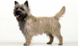 Cairn Terrier1-300x180