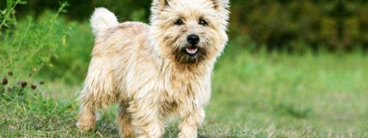 Cairn Terrier1-800x400