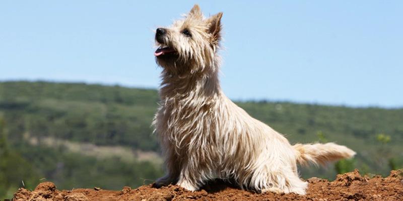 Cairn Terrier10-800x400