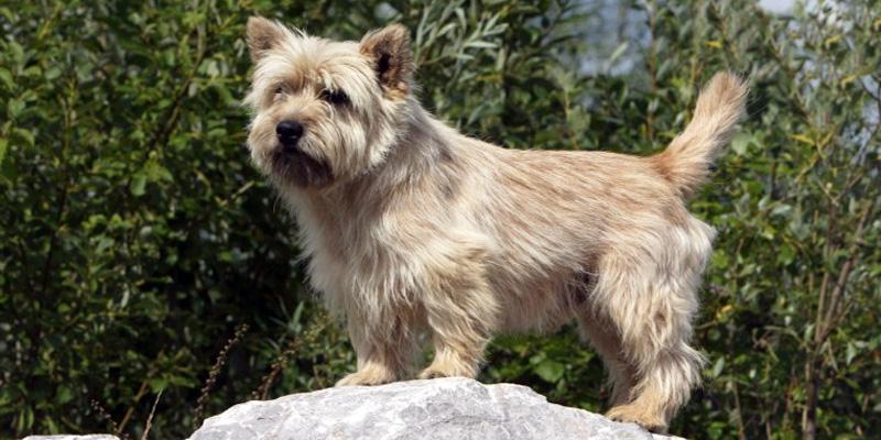 Cairn Terrier11-800x400