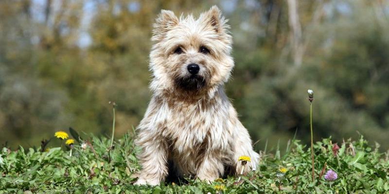 Cairn Terrier12-800x400