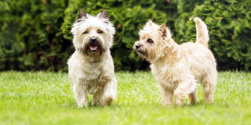Cairn Terrier13-800x400