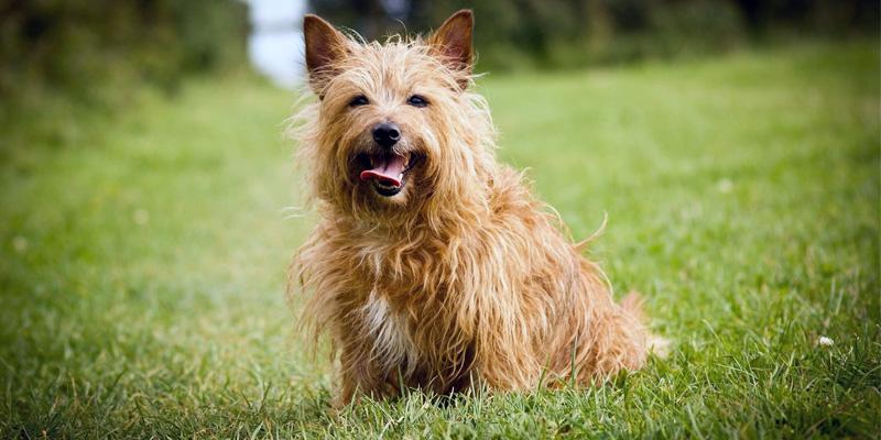 Cairn Terrier14-800x400