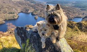 Cairn Terrier2-300x180