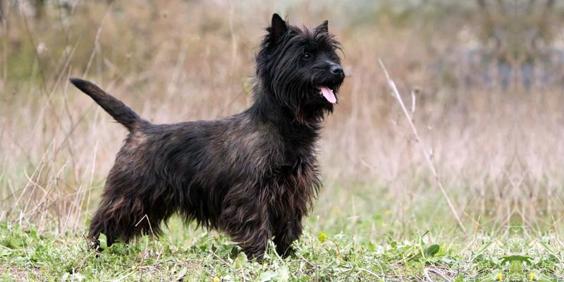 Cairn Terrier2-800x400