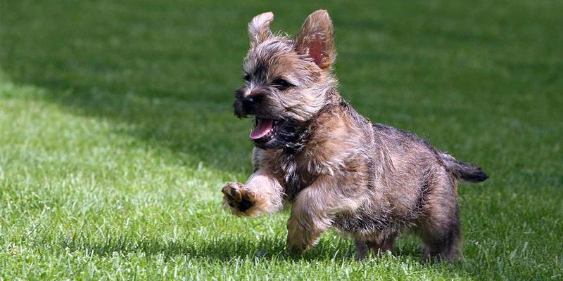 Cairn Terrier3-800x400