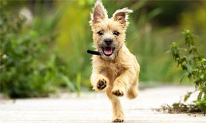 Cairn Terrier4-300x180