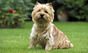 Cairn Terrier5-300x180