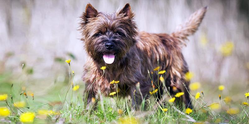 Cairn Terrier5-800x400