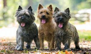 Cairn Terrier6-300x180