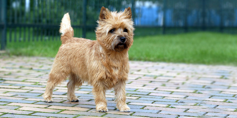 Cairn Terrier6-800x400