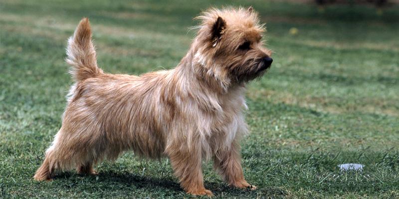 Cairn Terrier7-800x400